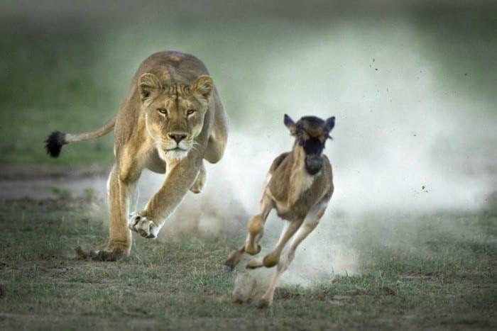 Une lionne chassant une gazelle (image Google)