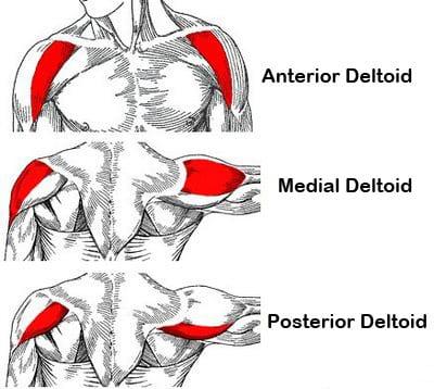 Détails sur les muscles deltoïdes (image Google)