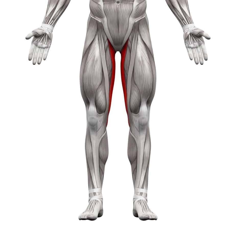 Les muscles adducteurs de la hanche (image Toute La Nutrition)