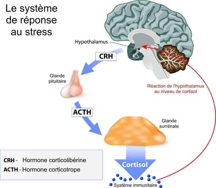 Le circuit long du cortisol (image Lyme Combat)