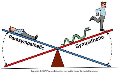 Les deux branches de notre système nerveux (image Pearson Education)